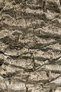 Palm bark texture tree wood closeup with cracks and natural color tones Royalty Free Stock Images