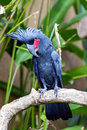 Palm Cockatoo Parrot in nature surrounding Royalty Free Stock Photography