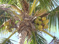Palm and coconuts Royalty Free Stock Photos