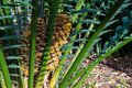 Palm fern cycad Royalty Free Stock Photo