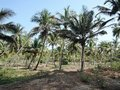 Palm forest in shiroda beach also known as paradise beach in maharashtra india Stock Photos