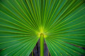Palm frond bright green with fronds radiating out from center of image Royalty Free Stock Photography