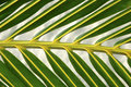 Palm frond detail Royalty Free Stock Photography