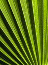 Palm frond a green leaf closeup to show the texture Stock Image