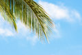 Palm fronds on a blue sky background with light clouds Stock Image