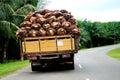 Palm Fruit Royalty Free Stock Photo