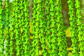 Palm green panicle betel growing with texture Stock Images