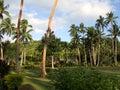Palm grove near beach mango bay viti levu fiji Royalty Free Stock Images