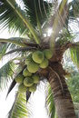 Palm with kokonuts Stock Photography
