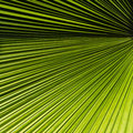 Palm leaf abstract tropical show straight lines texture Royalty Free Stock Image