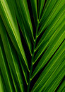 Palm leaf (Arecaceae) Stock Images