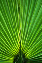 Palm leaf close-up Stock Photo