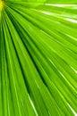 Palm leaf closeup green tropical background Stock Photo