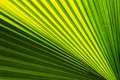 Palm leaf closeup tropical pattern and texture Stock Image