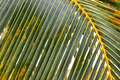 Palm leaf coconut in winter season texture background Stock Images
