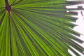 Palm leaf detail green tropical background Royalty Free Stock Photo