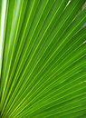 Palm leaf, frond texture Stock Image