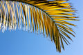 Palm leaf golden on a blue sky Stock Photo