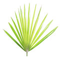 Palm leaf isolated Royalty Free Stock Photo