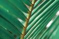 Palm leaf macro Royalty Free Stock Photo
