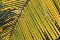 Palm leaf texture details in sun light close up of twigs bright Royalty Free Stock Photography