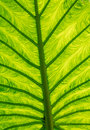 Palm leaf texture green detail closeup showing the structure inside Royalty Free Stock Image