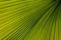 Palm leaf venation Royalty Free Stock Photos