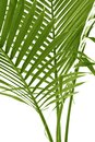 Palm leafs coconut tree Stock Image