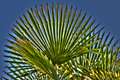 Palm leaves background natural with on a blue sky Stock Images