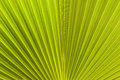 Palm Leaves Texture.