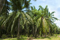 Palm Oil Plantation Stock Photography