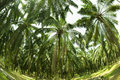 Palm Oil Plantation in Fish eye view.. Stock Image