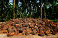 A palm oil plantation in Malaysia. Royalty Free Stock Photo