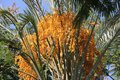 Palm Three Blooming Dates Royalty Free Stock Photo