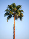 Palm tree above blue sky Stock Images
