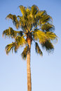 Palm tree against a blue sky Royalty Free Stock Photo
