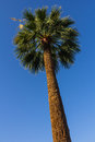 Palm tree against blue sky tall in a sunny day Royalty Free Stock Image