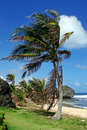 Palm tree at Bathsheba, Barbados Stock Photography