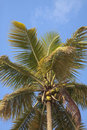 Palm Tree with Blue Sky Royalty Free Stock Photo