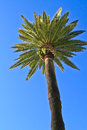 Palm tree with blue sky as background in san diego Royalty Free Stock Photo