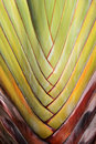 Palm tree branches abstract texture travellers palm Stock Photo