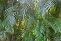 Palm tree branches close up goa india Royalty Free Stock Photo