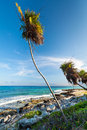 Palm tree on the Caribbean beach Royalty Free Stock Photos