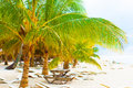 Palm tree in the caribbean thick trees on shore of Royalty Free Stock Image