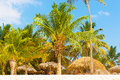 Palm tree in the caribbean thick trees on shore of Royalty Free Stock Photos