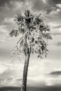 Palm tree with cloudy sky in sunset, colorless