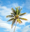 Palm tree coconat over blue sky Stock Images