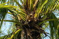 Palm tree without coconut a Royalty Free Stock Image