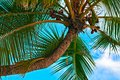 Palm tree with coconut close up maldives the indian ocean Stock Photo