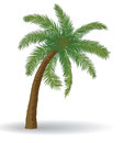 Palm tree coconut on a white background Royalty Free Stock Photo